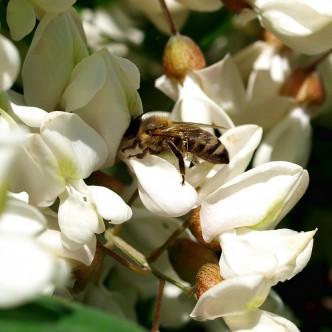 akacja i pszczoa