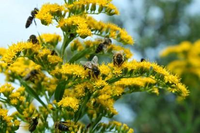 nawloc pszczoly